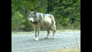 Ore. lawmakes support delisting wolf
