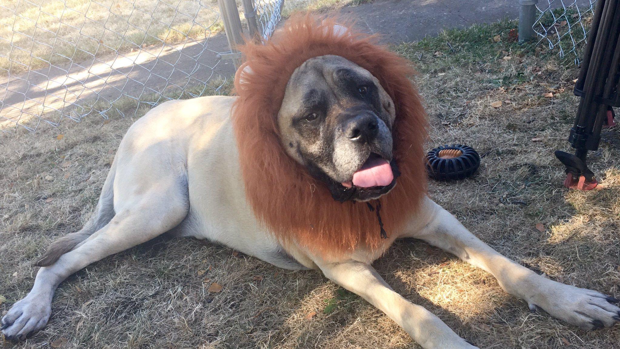 Tibetan mastiff lion zoo