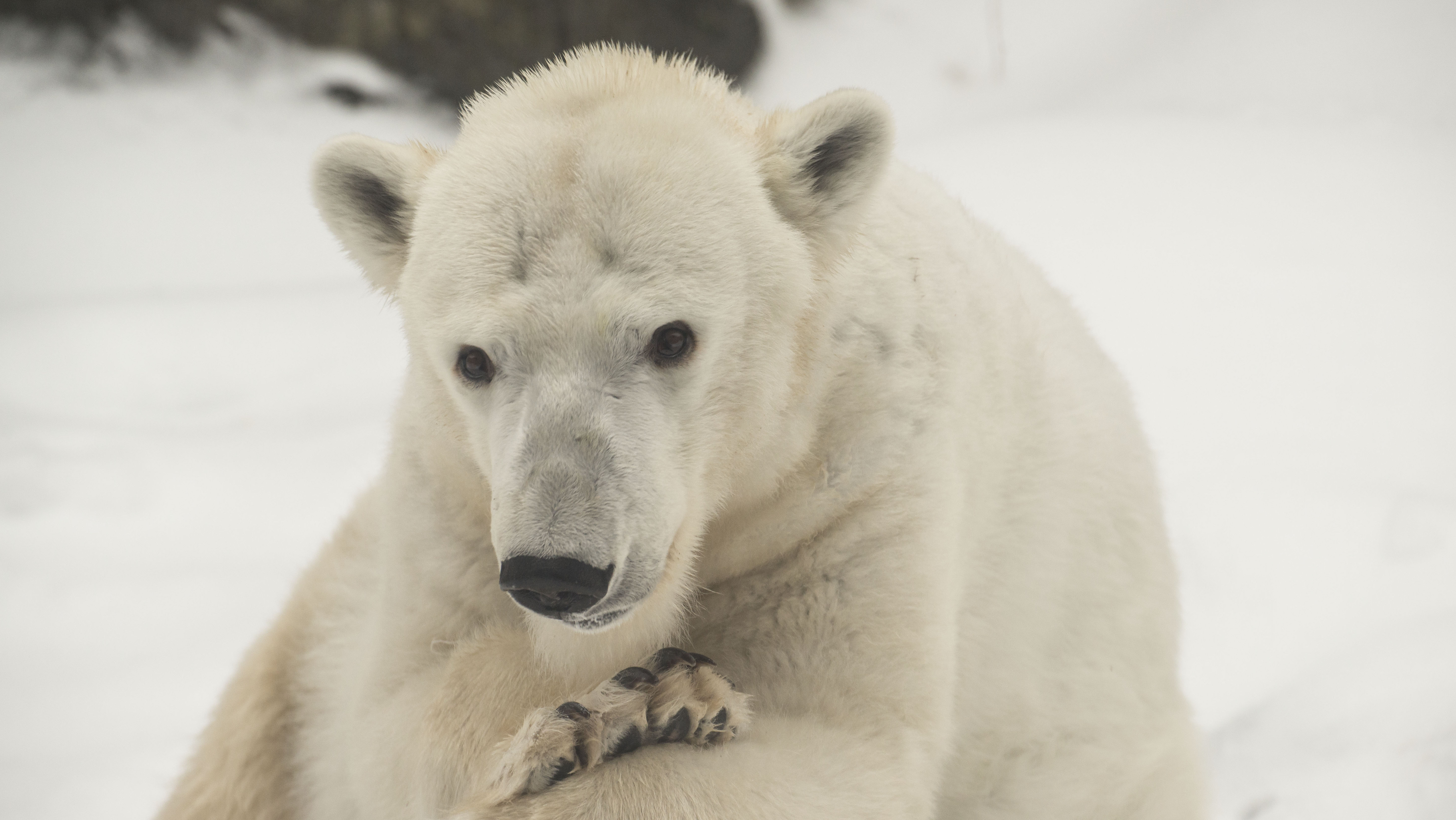 polar bears suffering And though other bear species, such as grizzlies, store food for later, sticking leftovers into what amounts to a refrigerator is unusual behavior for polar bears.