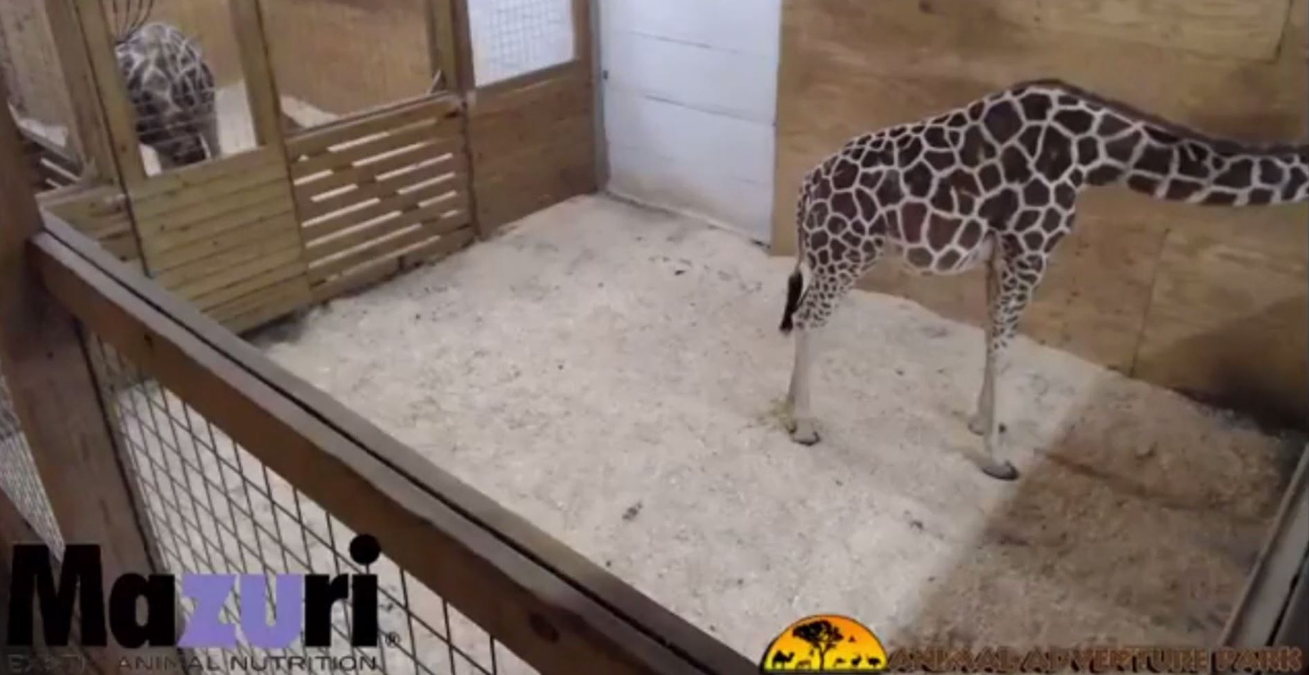 April the giraffe live cam youtube - April The Giraffe Live Cam Youtube 42